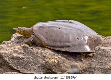 Spiny Softshell Turtle (Apalone spinifera) sunbathing on a rock.