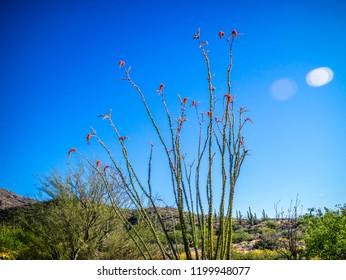 A spiny stems Ocotillo in Saguaro National Park, Arizona