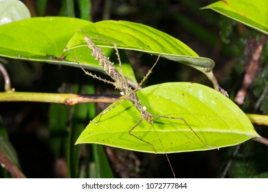 Spiny stick insect (Acanthoclonia sp.) with dipteran parasites in the rainforest understory  in Morona Santiago province, Ecuador