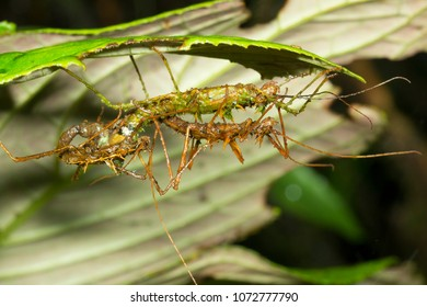 Spiny stick insects (Acanthoclonia sp.) mating in the rainforest understory  in Morona Santiago province, Ecuador