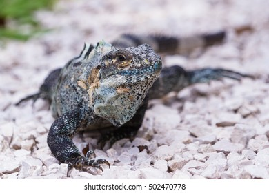 spiny tail iguana walking on the ground in the pacific Costa Rica