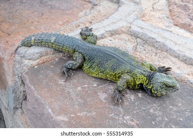 Spiny-tailed lizard, in the Atlas ravines