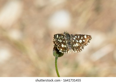 Spio Grizzled Skipper or Mountain Sandman butterfly (Spialia spio), Tendaba, Gambia.