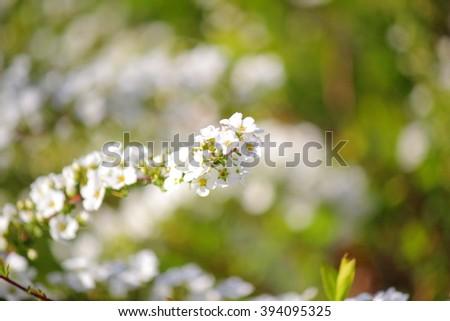 Spiraea Arguta Small White Flowers Blooming Stock Photo Edit Now