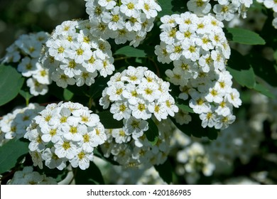 spiraea bush  of the soft white flowers under the spring sun shallow depth-of-field