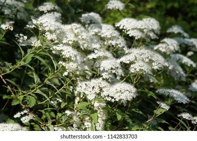 Spiraea japonica albiflora white flowers on green shrub