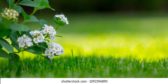 Spiraea white flowers on the background of green leaf. An ornamental plant used in landscape design, as a living fence and not only