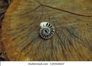 spiral mollusk. ancient fossil ammonite substituted by pyrite. extinct cephalopod spiral mollusk