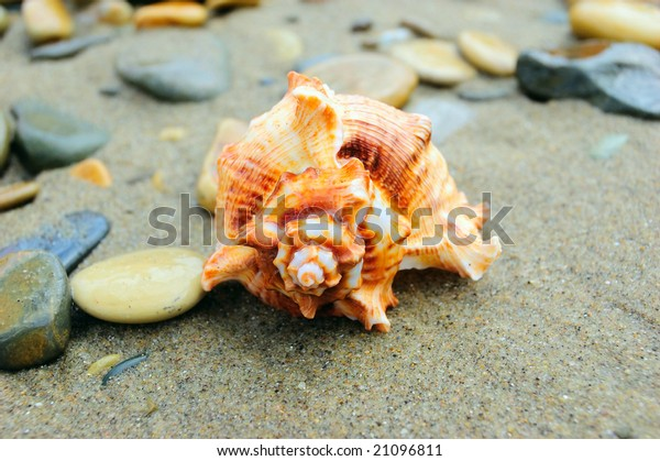 Spiral shellfish on sand with pebbles, closeup image of warm brown color sea shell shot with copyspace