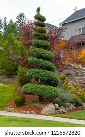 Spiral Topiary Juniper tree in home frontyard  landscaping in suburban neighborhood
