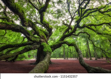The spiraling trees of Angel Oak Tree in South Carolina