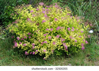 Spirea - flowering shrub