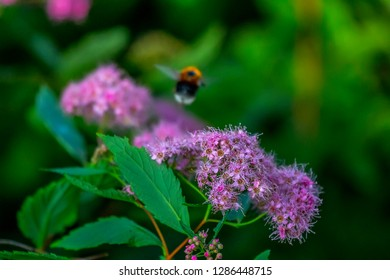 Spirea Japanese (feather-fern, Astilbe japonica) as a good honey plant and pollen and cuckoo bee (Psithyrus) collects nectar