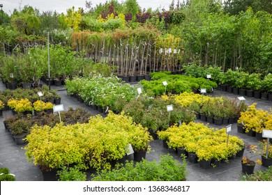 Spirea plants in plastic pots, seedling of trees, bushes, plants at plant nursery.