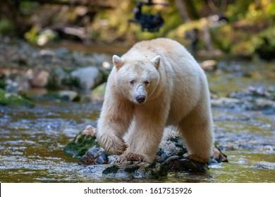 Spirit Bear in British Columbia River