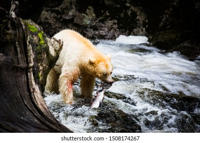 Spirit Bear catches fish in a waterfall, motion
