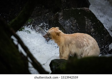 Spirit Bear fishing in river, the bear is rare subspecies of the American black bear.