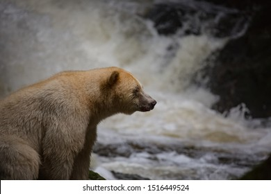 Spirit Bear fishing in river, the bear is rare subspecies of the American black bear, wildlife, motion