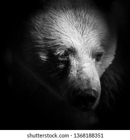 Spirit Bear Portrait