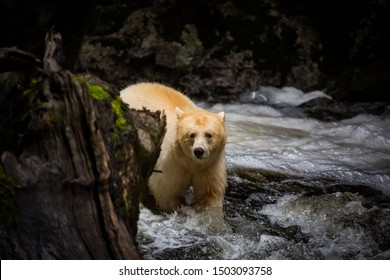 spirit bear in river, rare subspecies of the American black bear, nature, endemic wildlife