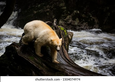 spirit bear in river, the bear is rare subspecies of the American black bear, nature, endemic wildlife