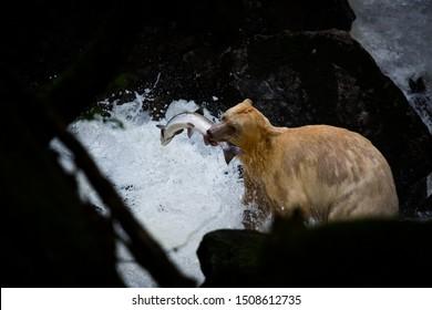 Spirit Bear (Ursus americanus kermodei), the bear is rare subspecies of the American black bear, nature, wildlife, fishing in river, motion