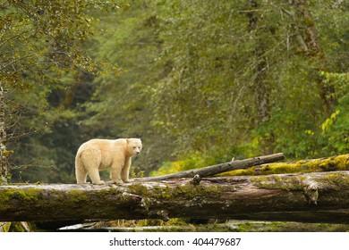 Spirit Bear (Ursus americanus kermodei) - Surveying