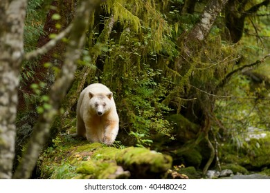 Spirit Bear (Ursus americanus kermodei) - Walk on the Log