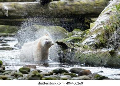 Spirit Bear (Ursus americanus kermodei) - Twist and Shake
