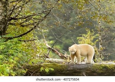 Spirit Bear (Ursus americanus kermodei) - In Green Forest