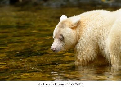 Spirit Bear (Ursus americanus kermodei) - Patience