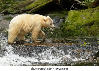 Spirit Bear (Ursus americanus kermodei) - One Paw at a Time