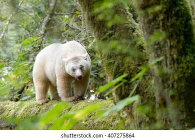 I Am Spirit Bear (Ursus americanus kermodei)