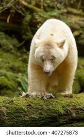 Spirit Bear (Ursus americanus kermodei) - Fish Supper