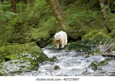 Spirit Bear (Ursus americanus kermodei) - On The Edge
