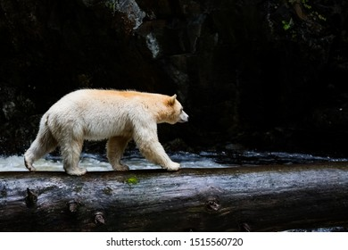 spirit bear walking on a log across the water, the bear is rare subspecies of the American black bear, bear in nature, wildlife