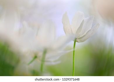 Spirit of a wood anemone. A beautiful white wild flower minimalism in soft focus.