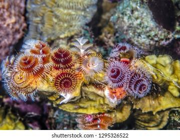 Spirobranchus giganteus,Christmas tree worms,