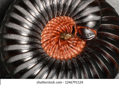Spirostreptidae (African Giant Black Millipede), a family of millipedes in the order Spirostreptida.