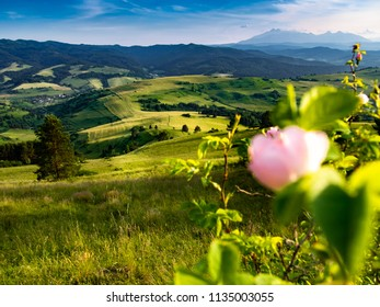 Spis Magura and Wild Rose Flower at Foreground.  High Tatras Mountains at background. View from Pieniny Mountains, Poland.