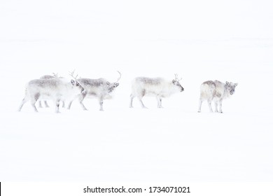 Spitsbergen Reindeer Deer Svalbard Rudolph Christmas Winter