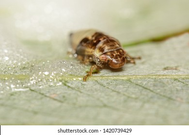 A Spittle Bug nymph of a  Frog Hopper emerging from its protective bubbles which it has made from digested leaf materials and exuded from its back side.