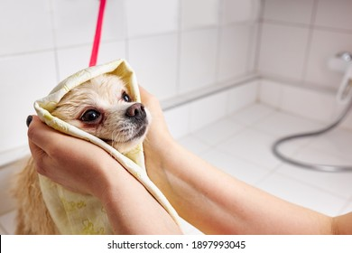 spitz in the bathroom in the beauty salon for dogs, the concept of popularizing haircuts and caring for dogs. groomer dry the dog with a towel