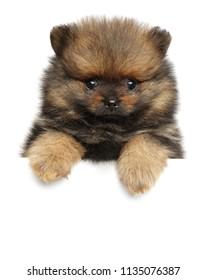 Spitz dog puppy above white banner. Baby animal theme