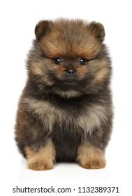 Spitz dog puppy. Close-up portrait on a white background. Baby animal theme