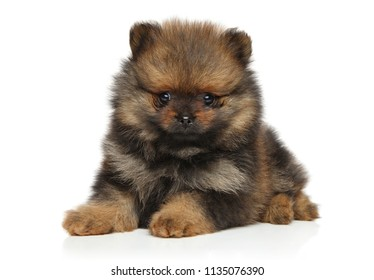 Spitz dog puppy lying on white background. Baby animal theme