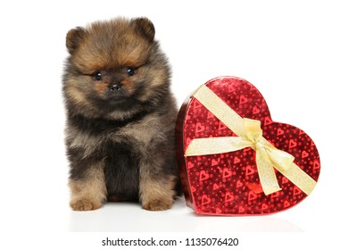 Spitz dog puppy with red heart on white background. Baby animal and Valentine day theme