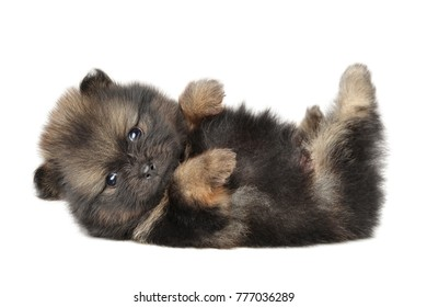 Spitz dog puppy resting lying on your back. Close-up portrait on a white background.