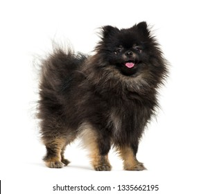 Spitz in front of white background