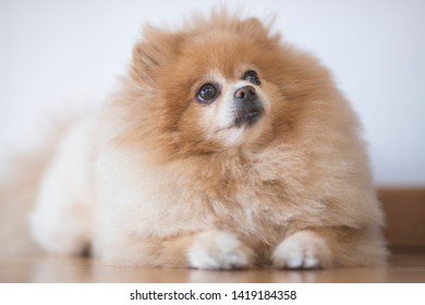 Spitz or Pomeranian breed dog